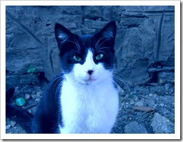 Black_and_white_cat